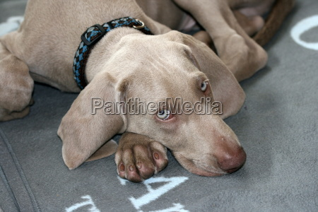 weimaraner, puppy, lying - 742256