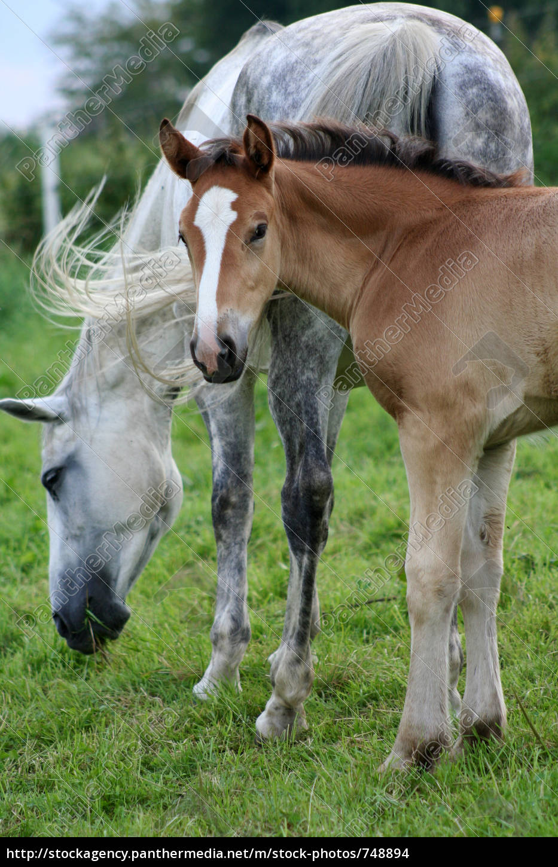 arabian, mare, with, foal - 748894