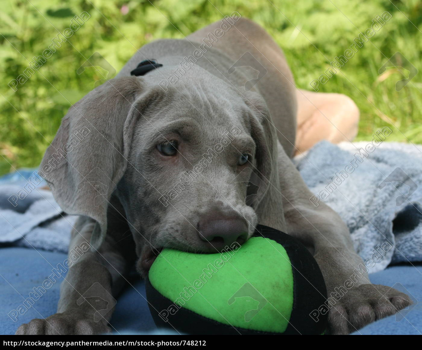 weimaraner, puppy, with, ball - 748212