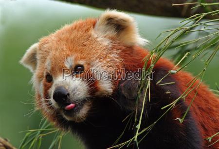 red, panda - 749980