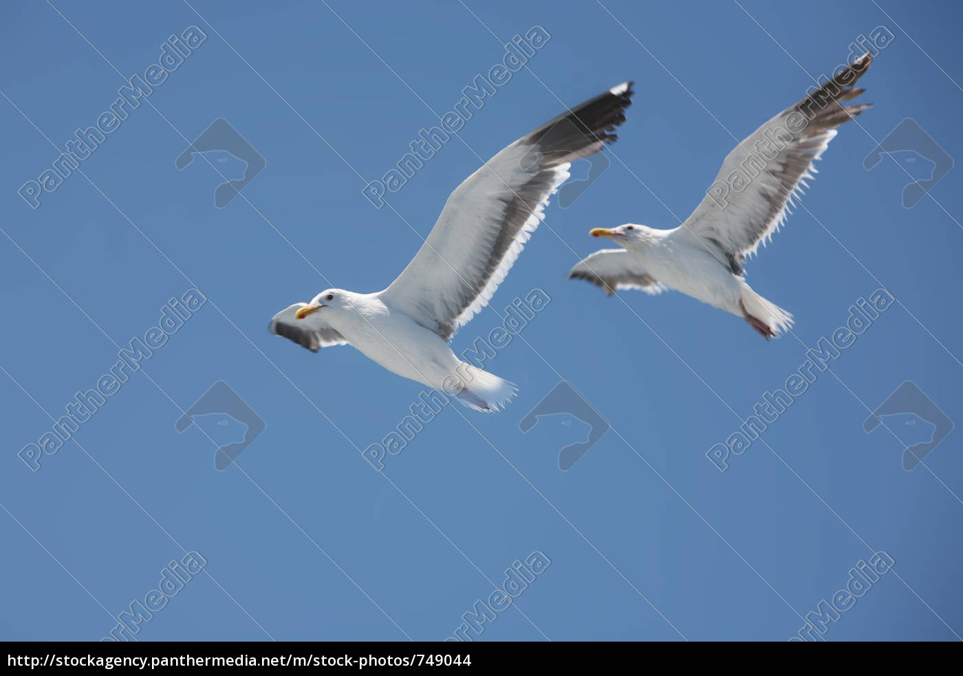 two, herring, gulls, in, parallel, flight - 749044