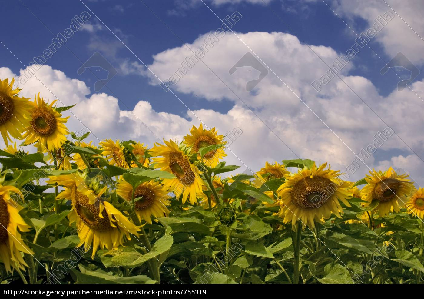 sunflower, field - 755319