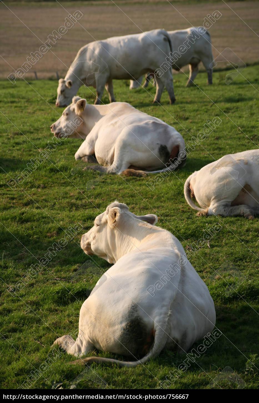 happy, cows - 756667