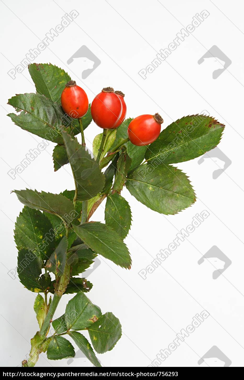 rosehips - 756293