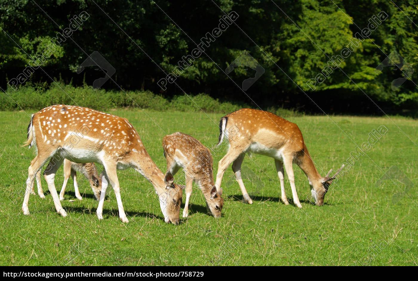 fallow, deer - 758729