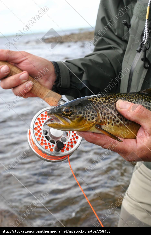irish, brown, trout - 758483
