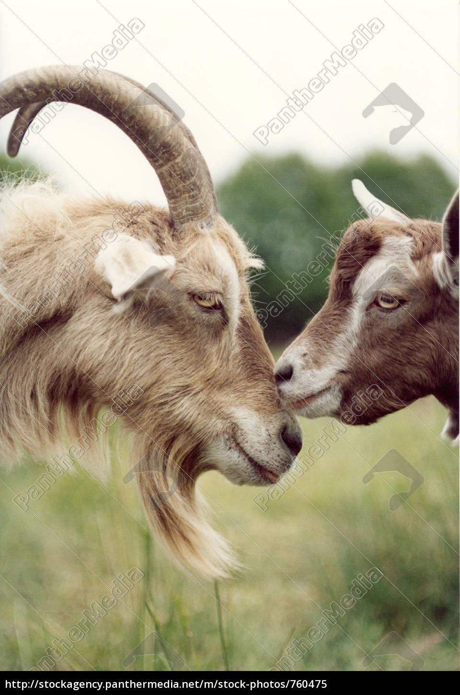 goat, love, 2 - 760475