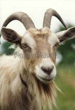 goat, silbermond - 760531