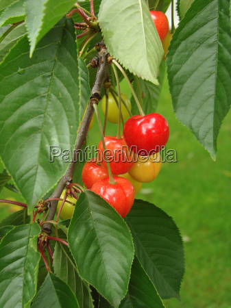 cherries - 762861