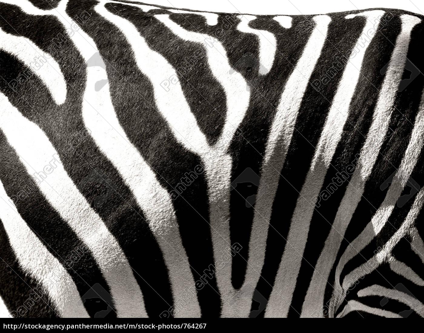 zebra, stripes - 764267