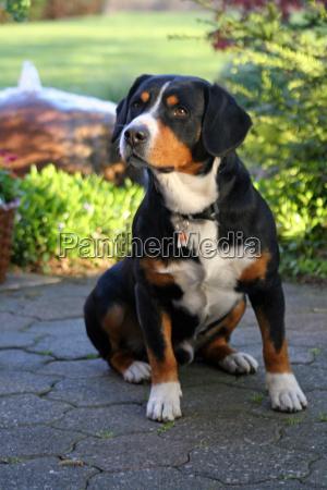 bernese, mountain, dog - 767857
