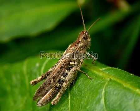 grasshopper on the leaf