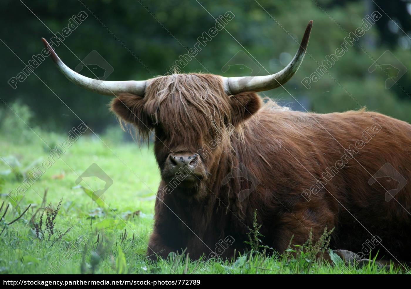 highland, cattle - 772789