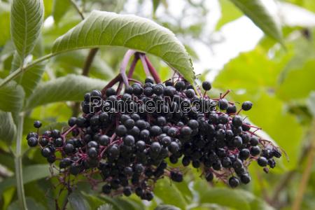 elderberries - 774635