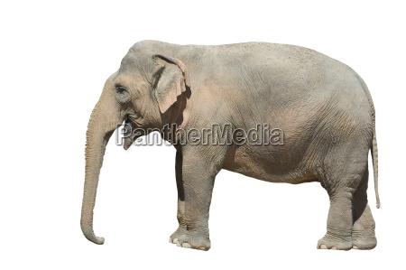 elephant - 774641