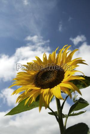 sunflower, against, summer, sky - 777339