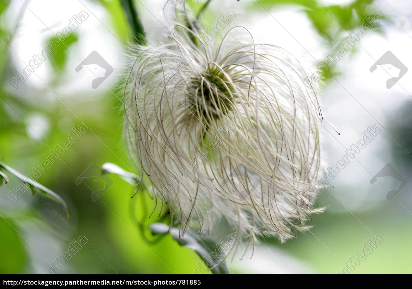 clematis, seed, head - 781885