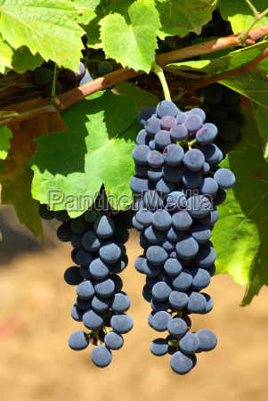black, grapes, on, vine, in, portugal. - 786231