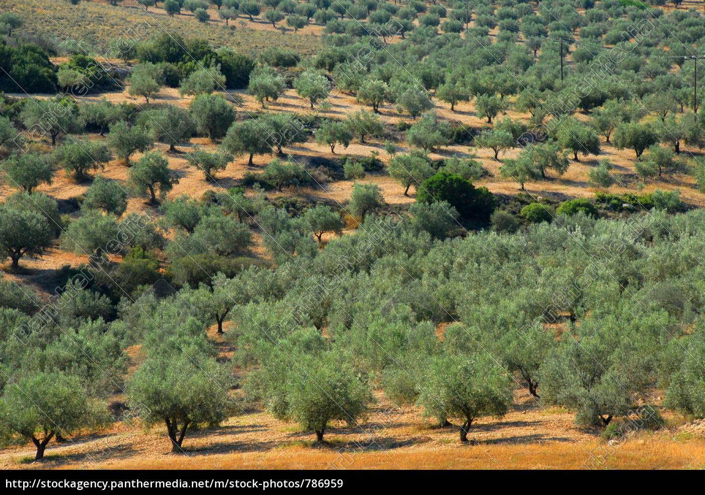 olive, grove - 786959