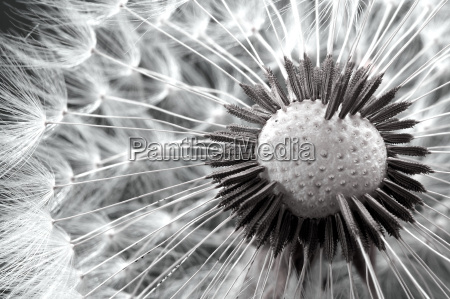 dandelion - 791327