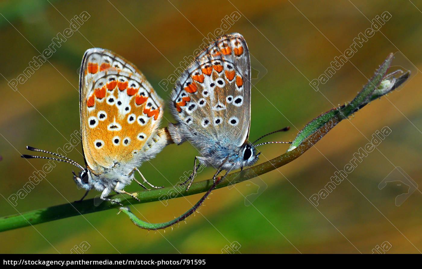 mating, of, bläulinge - 791595
