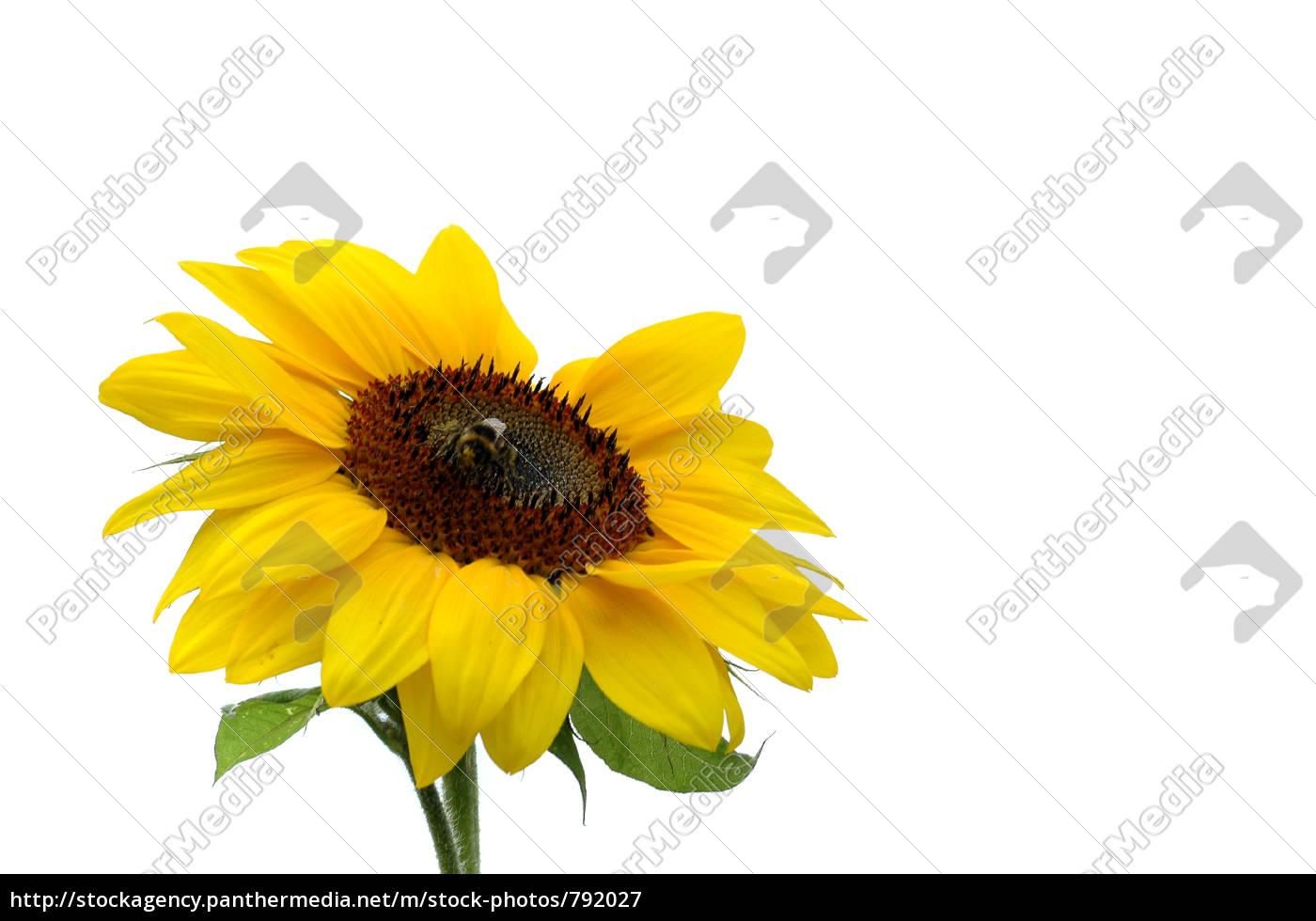 sunflower, 1 - 792027