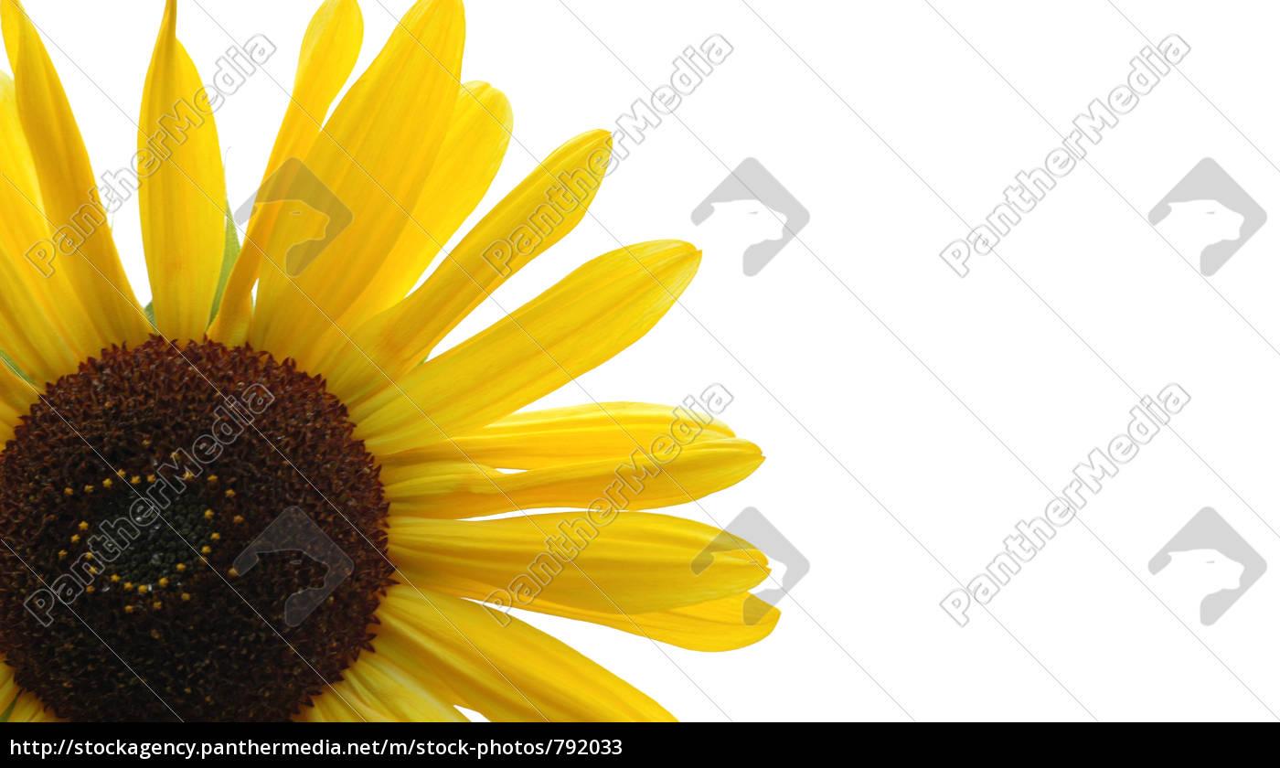sunflower, 3 - 792033