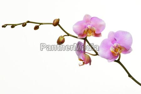 tender, violet - 792803