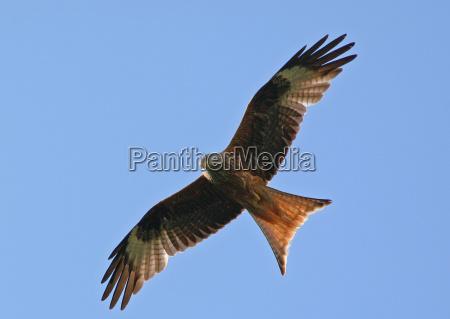 roter, milan-wildlife - 796539