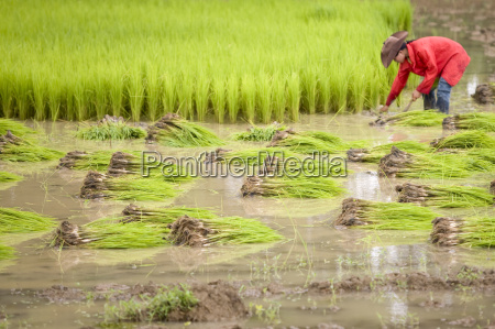 working, on, rice, field, laos - 796925
