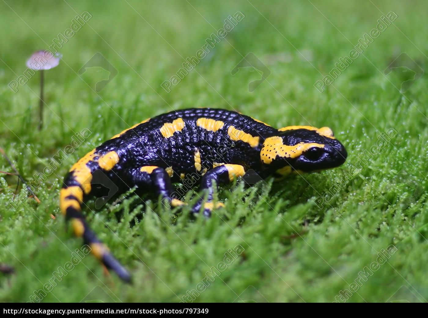 fire, salamander - 797349