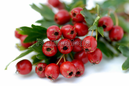 hawthorn, berries - 799117