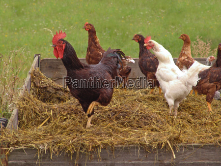 hens, on, dung, carts - 799505