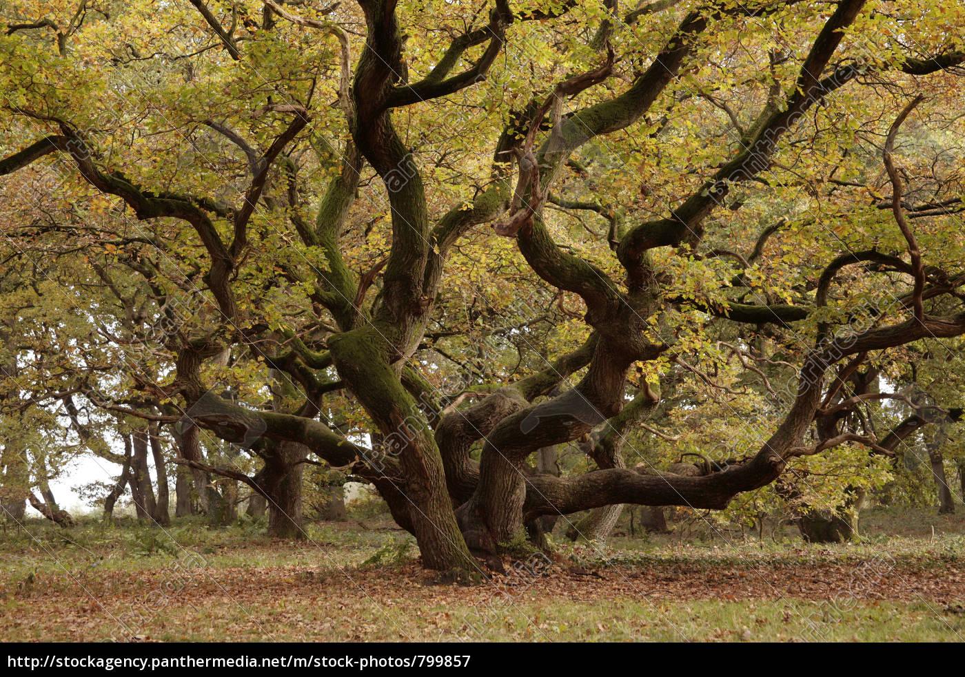 old, oak - 799857