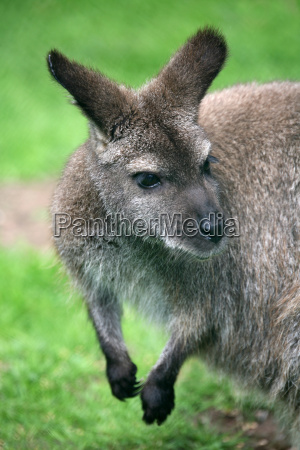 red-necked, wallaby - 799593