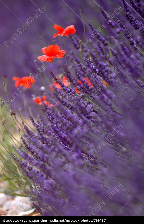 red, vs., purple - 799187