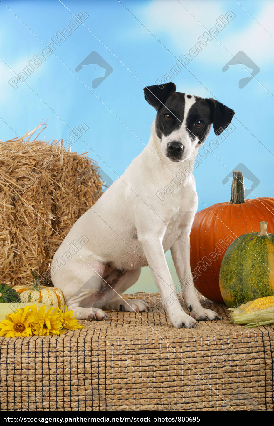 jack, russell, terrier, with, pumpkin - 800695