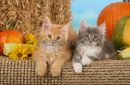two, maine, coon, kittens, in, front - 800413