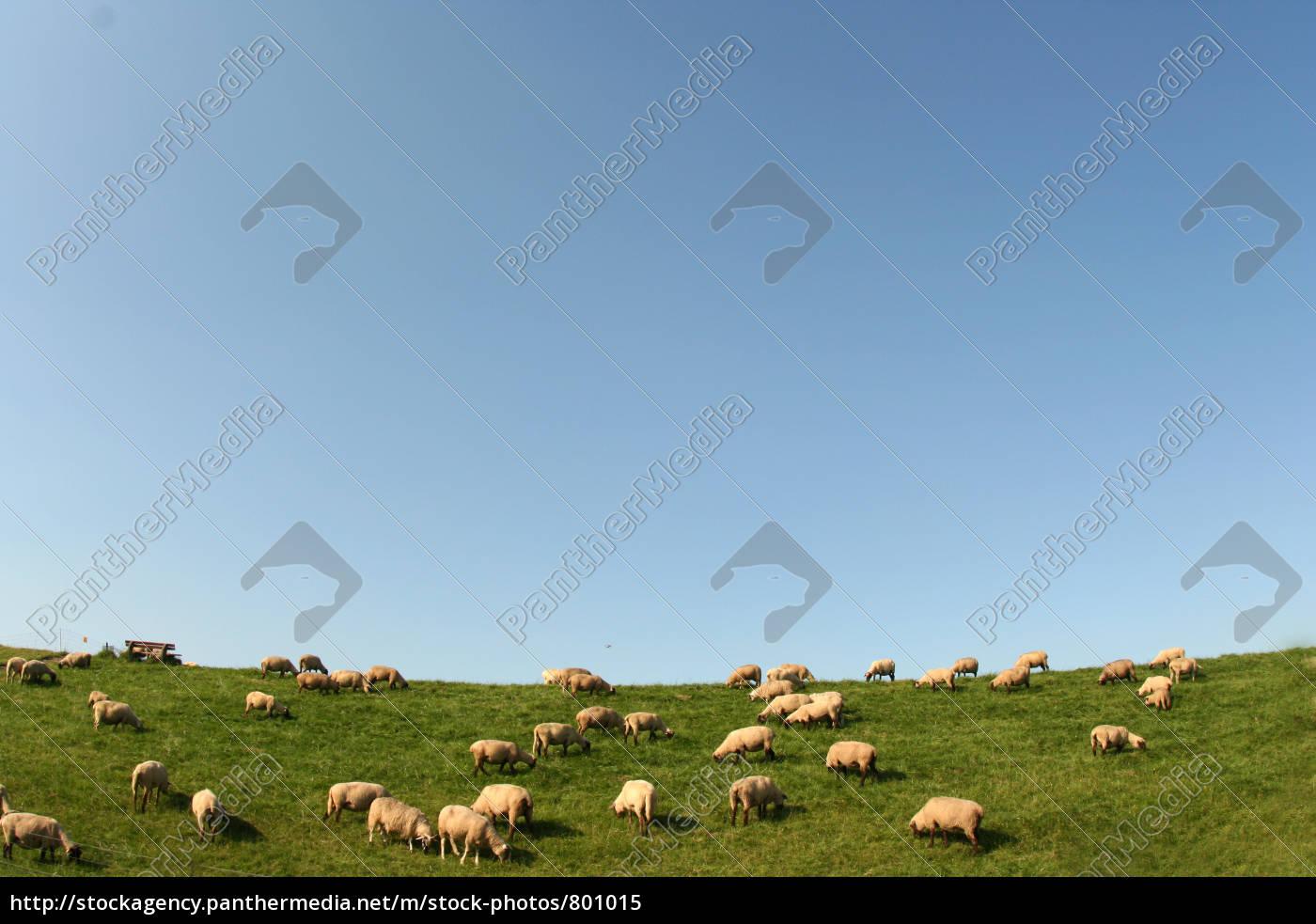 sheep - 801015