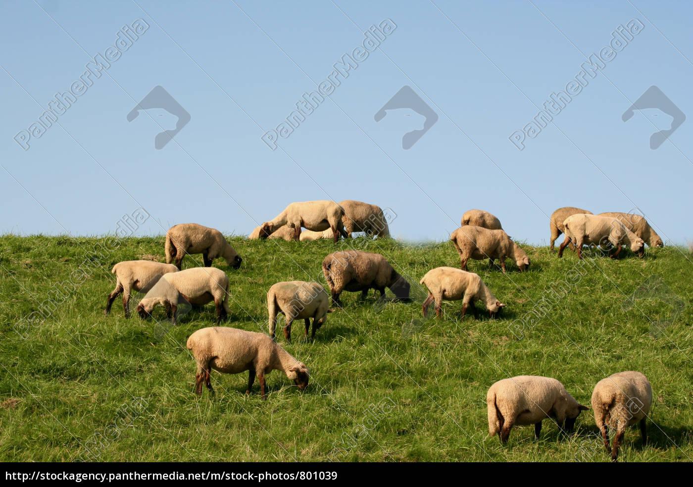 sheep - 801039