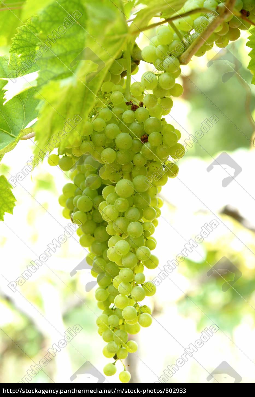 grapes - 802933