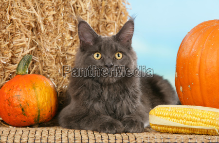 grey, maine, coon, cat - 802465