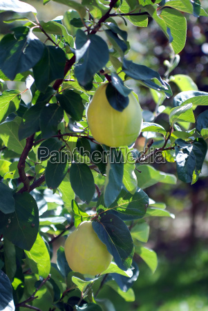 quince - 802735