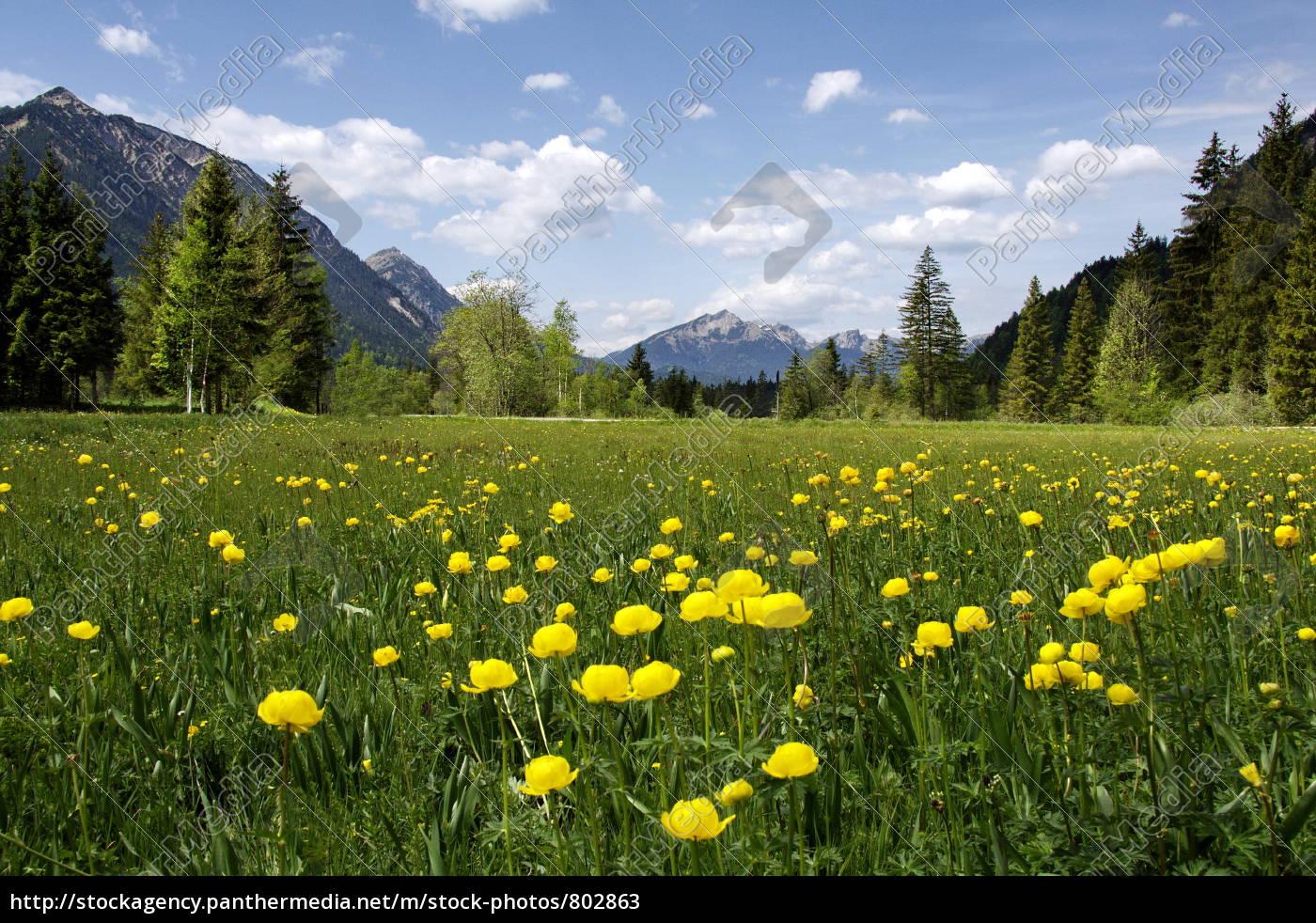 troll, flower, meadow, in, the, grasswang - 802863