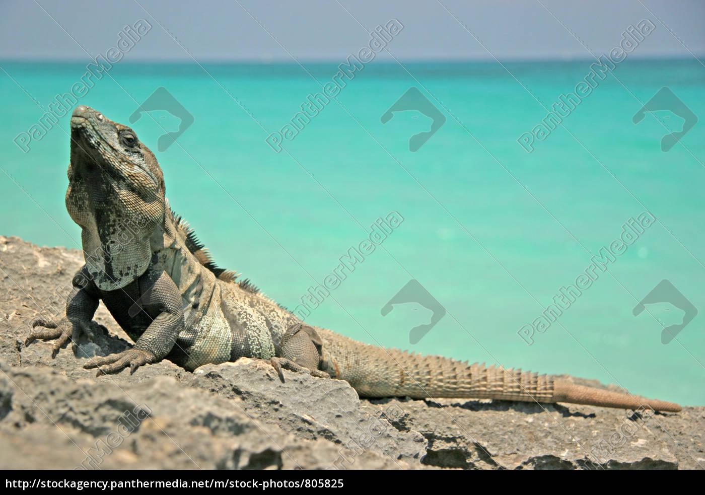 black, iguana, iii - 805825