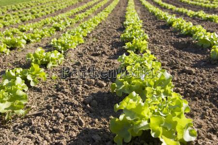 salad - 806933