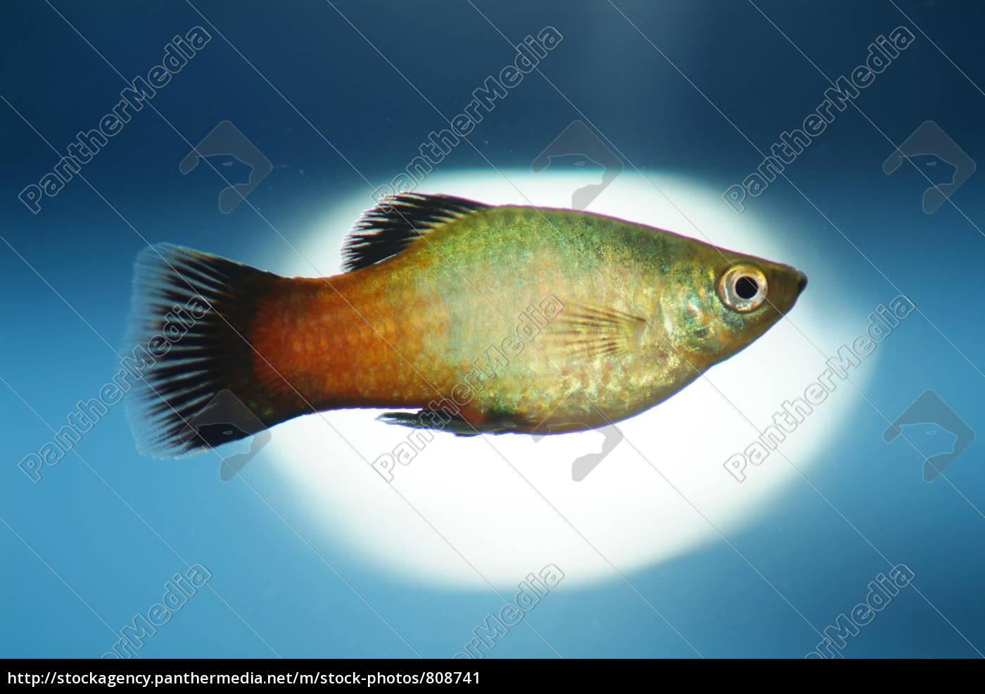platy, in, the, aquarium - 808741