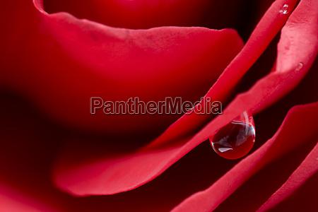 rose, blood - 808343