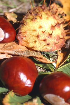 horse, chestnut, iii - 810753