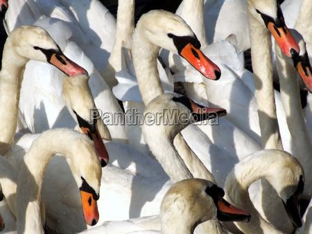 swans - 811341